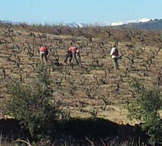 La taille des vignes MARS 2012
