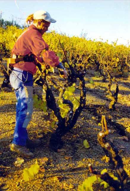 Automne hiver la taille des vignes taille au s cateur lectrique - Taille des rosiers automne ...