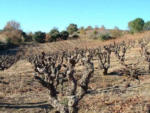 Vieille vigne de macabeu en cours de taille
